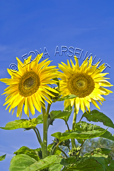SUNFLOWERS;FLOWERS;YELLOW;VERTICAL
